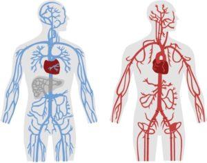 sytème cardio